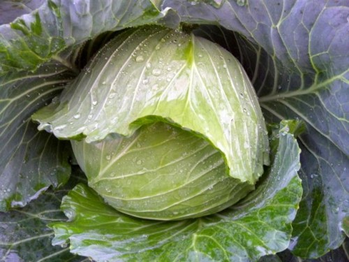 2012-10-18キャベツ新藍レシピン